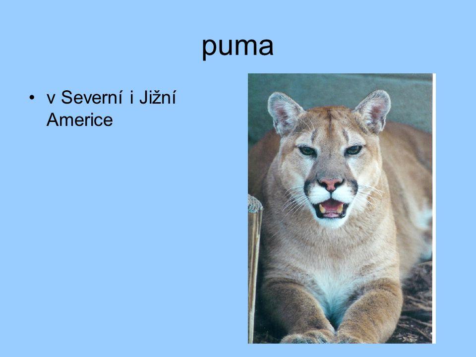 puma v Severní i Jižní Americe