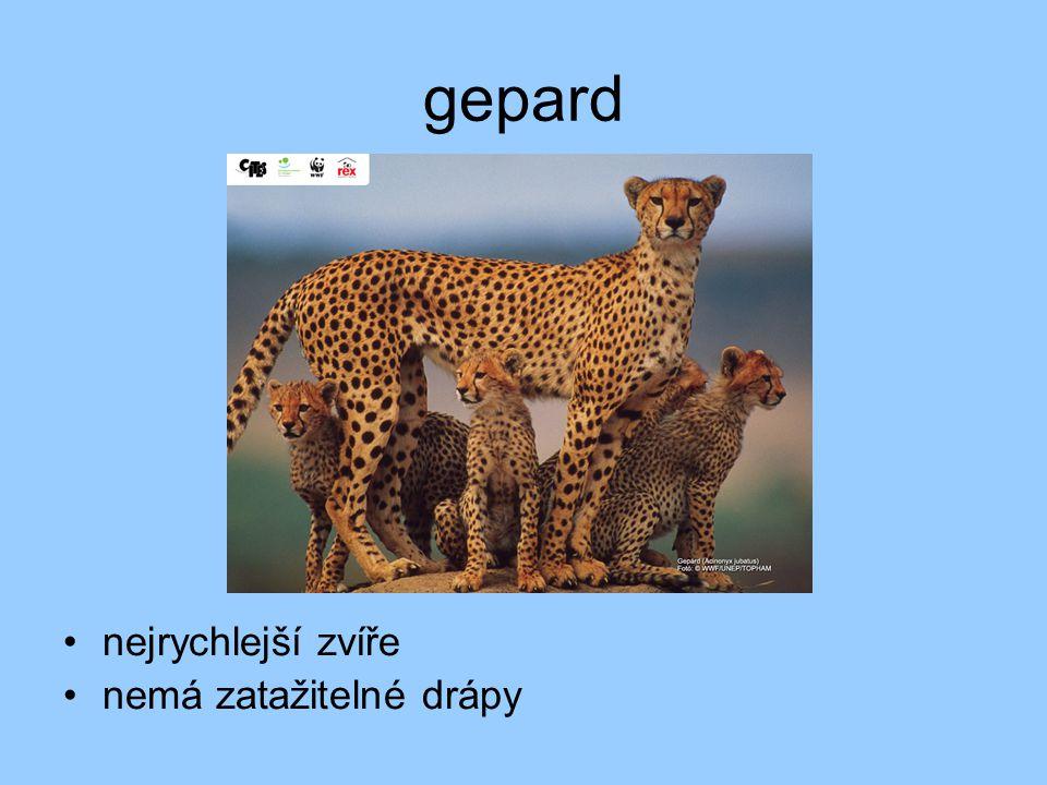 gepard nejrychlejší zvíře nemá zatažitelné drápy