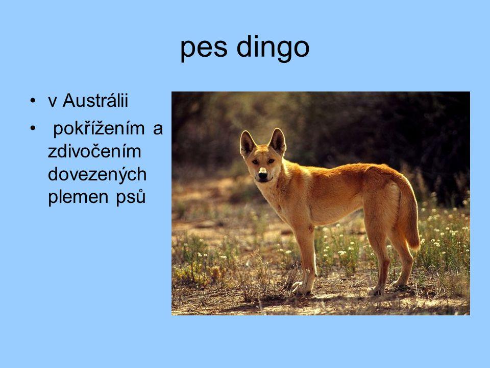 pes dingo v Austrálii pokřížením a zdivočením dovezených plemen psů