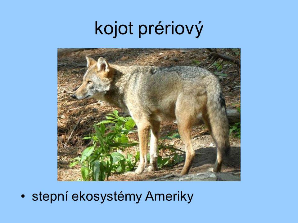 kojot prériový stepní ekosystémy Ameriky