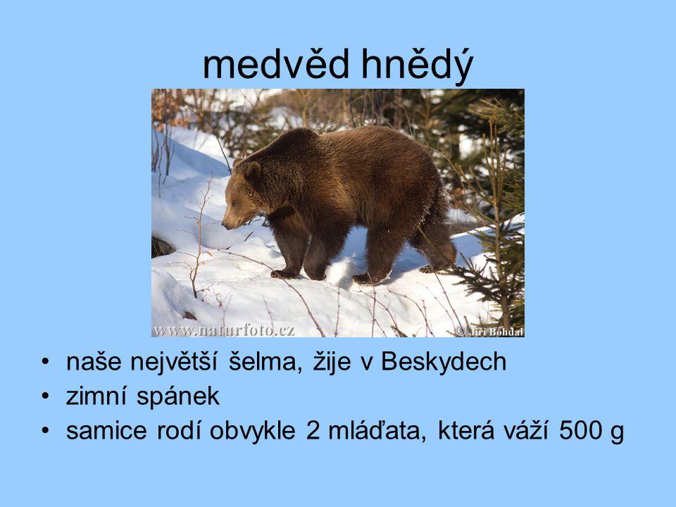 medvěd hnědý naše největší šelma, žije v Beskydech zimní spánek
