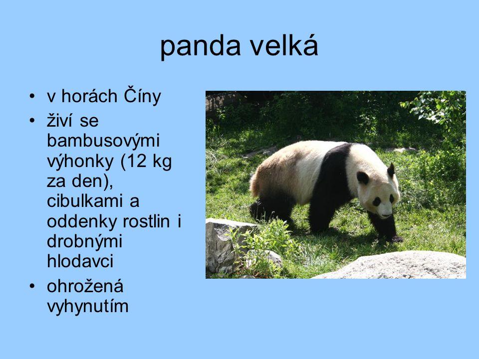 panda velká v horách Číny