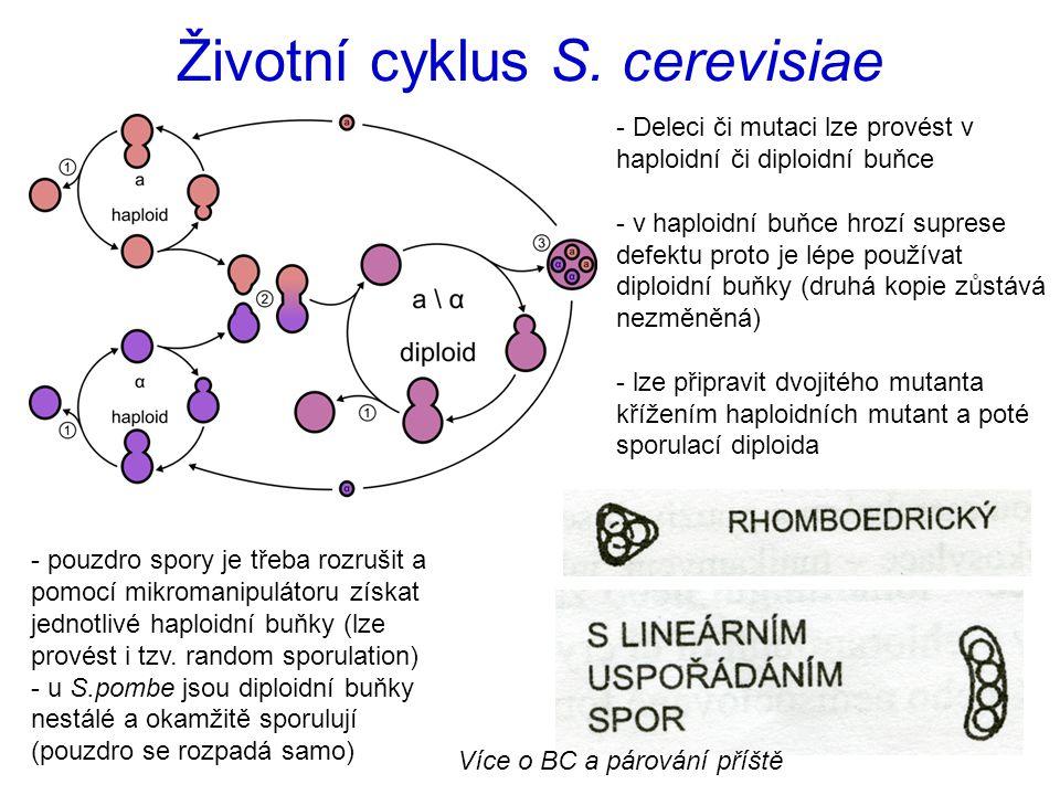 Životní cyklus S. cerevisiae