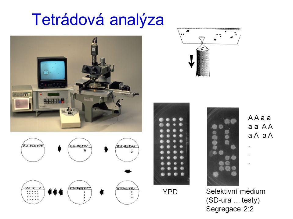 Tetrádová analýza A A a a a a A A a A a A . YPD Selektivní médium