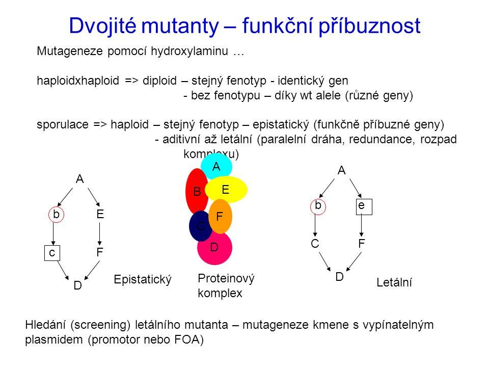 Dvojité mutanty – funkční příbuznost