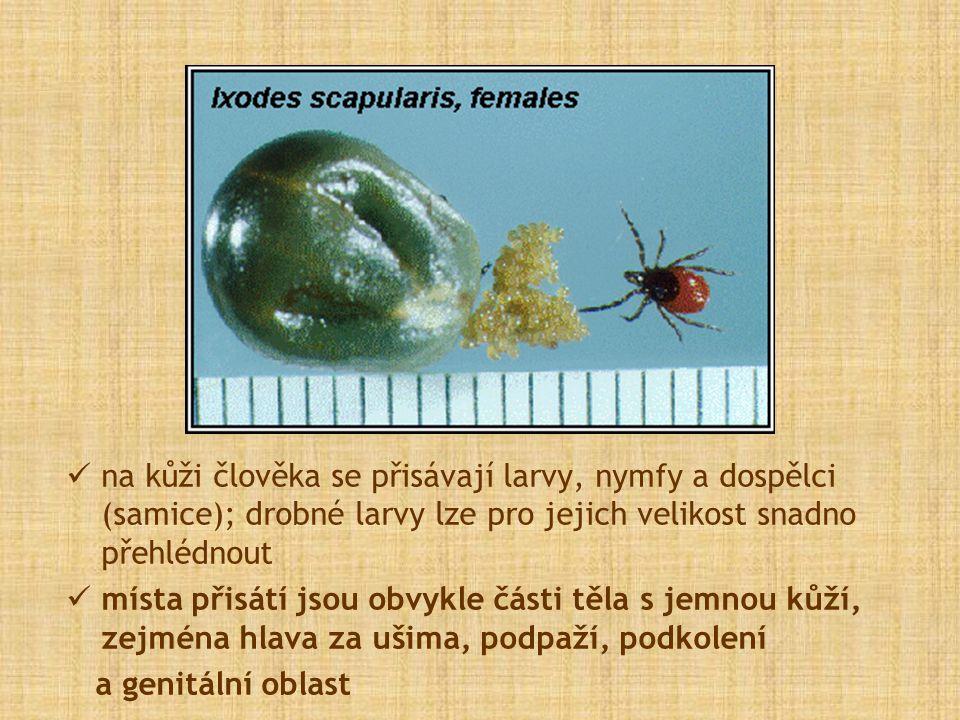 na kůži člověka se přisávají larvy, nymfy a dospělci (samice); drobné larvy lze pro jejich velikost snadno přehlédnout