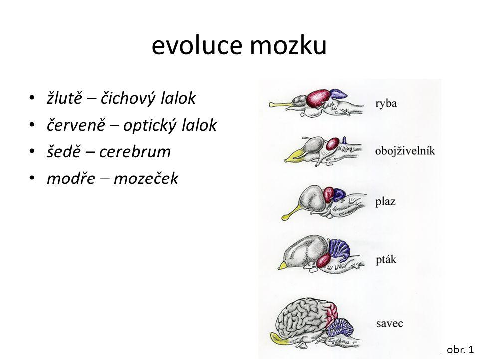 evoluce mozku žlutě – čichový lalok červeně – optický lalok
