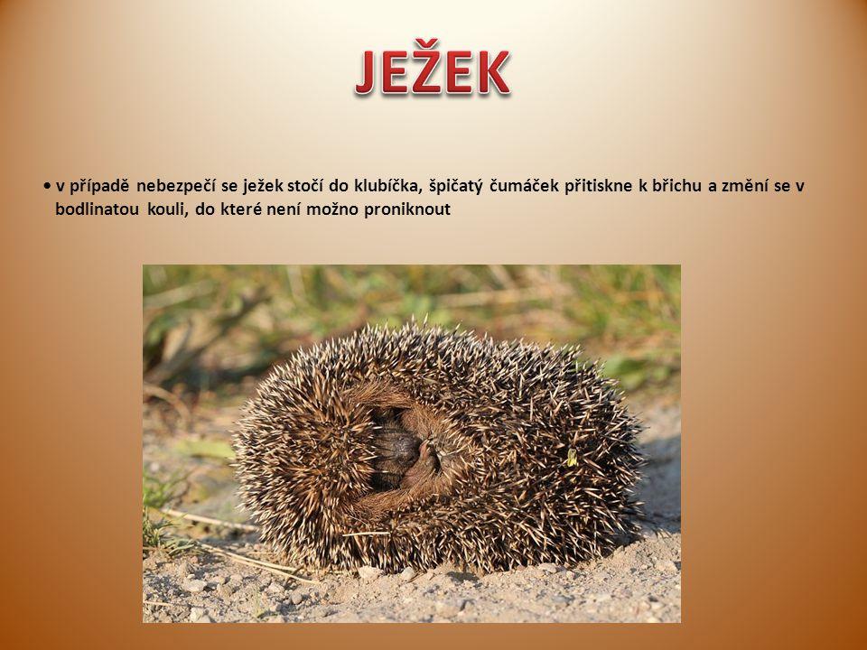 JEŽEK • v případě nebezpečí se ježek stočí do klubíčka, špičatý čumáček přitiskne k břichu a změní se v.
