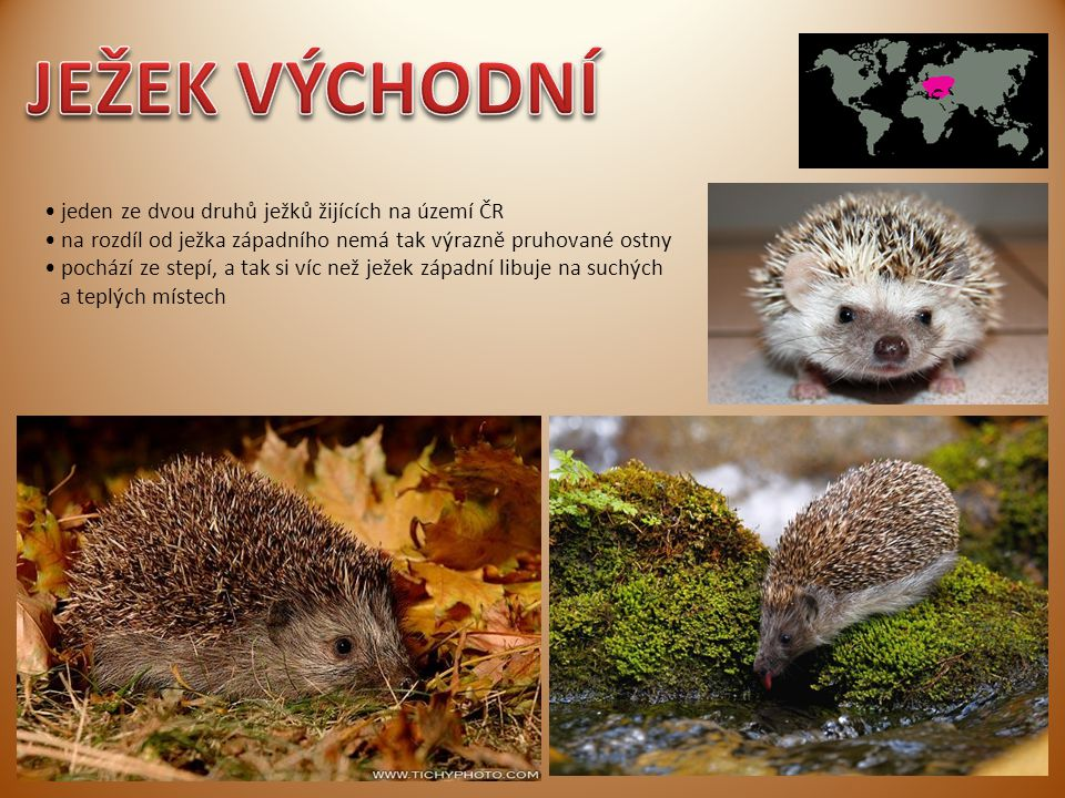 JEŽEK VÝCHODNÍ • jeden ze dvou druhů ježků žijících na území ČR