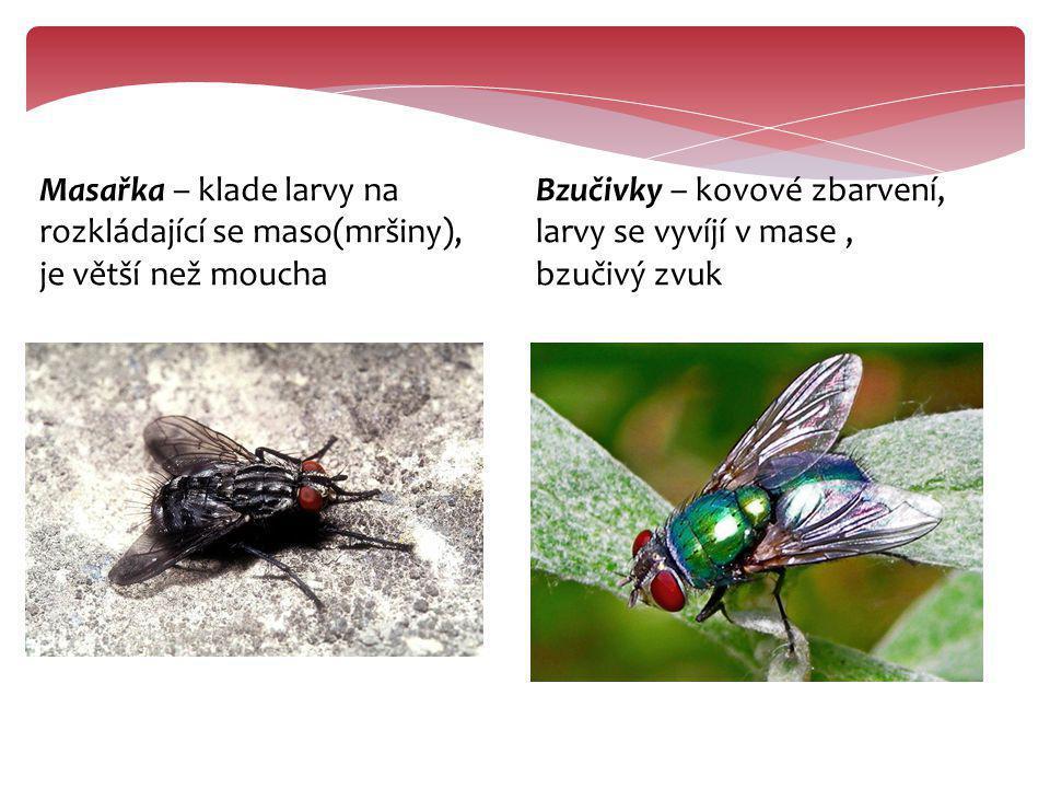 Masařka – klade larvy na rozkládající se maso(mršiny), je větší než moucha