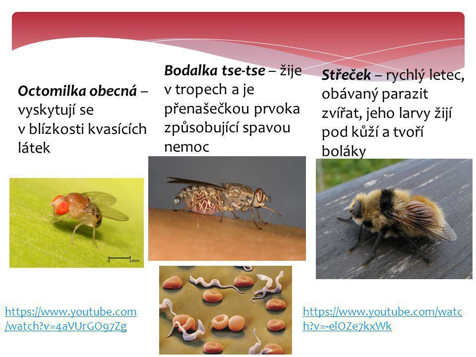 Octomilka obecná – vyskytují se v blízkosti kvasících látek