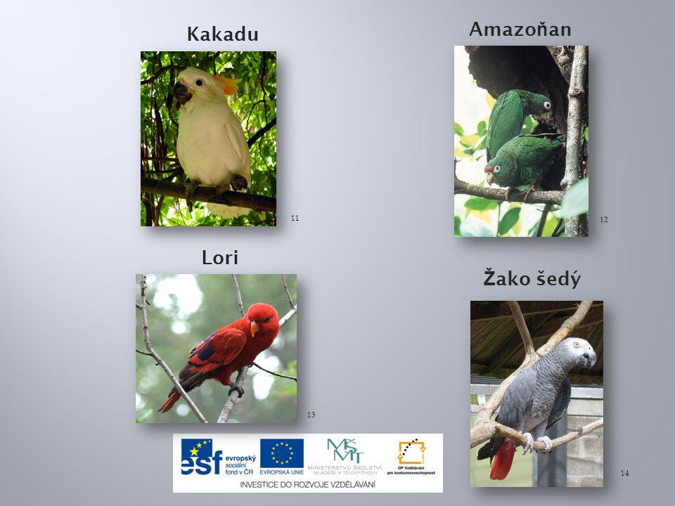 Amazoňan Kakadu Lori Žako šedý