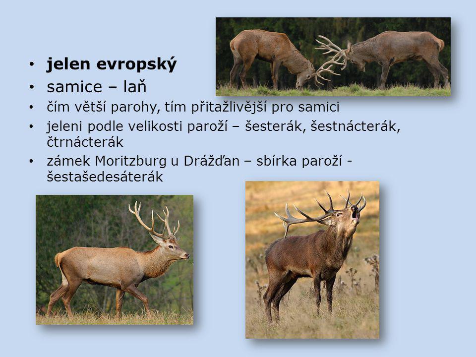 jelen evropský samice – laň
