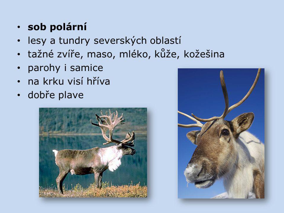sob polární lesy a tundry severských oblastí. tažné zvíře, maso, mléko, kůže, kožešina. parohy i samice.