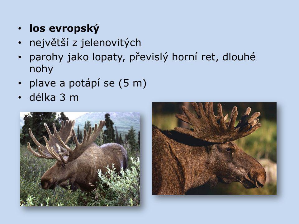 los evropský největší z jelenovitých. parohy jako lopaty, převislý horní ret, dlouhé nohy. plave a potápí se (5 m)