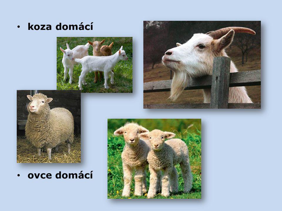koza domácí ovce domácí