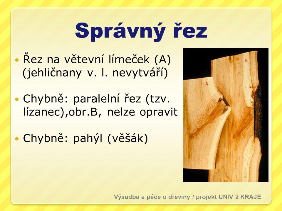 Správný řez Řez na větevní límeček (A) (jehličnany v. l. nevytváří)