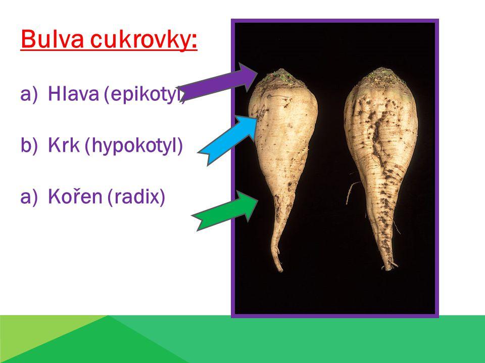 Bulva cukrovky: Hlava (epikotyl) Krk (hypokotyl) Kořen (radix)