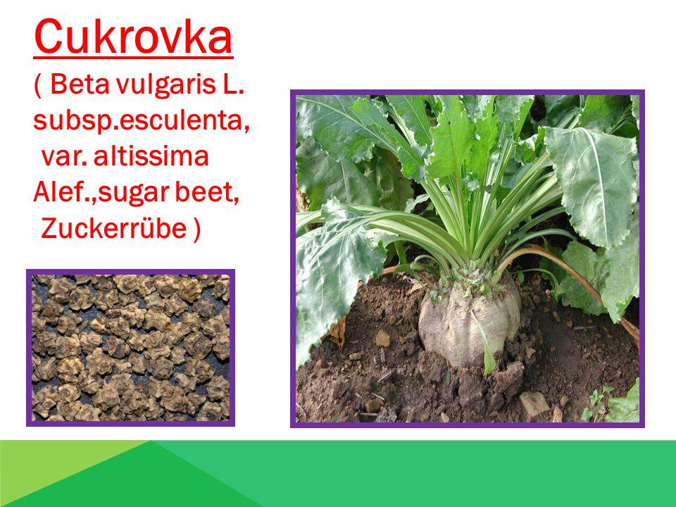 Cukrovka ( Beta vulgaris L. subsp.esculenta, var. altissima