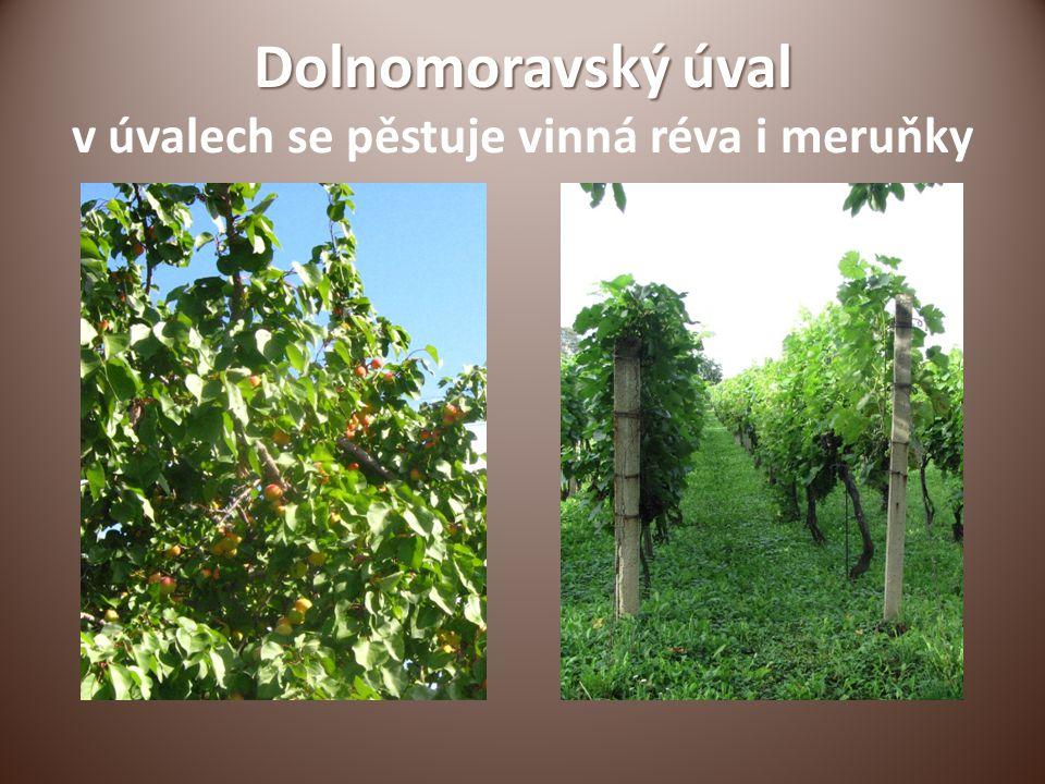 Dolnomoravský úval v úvalech se pěstuje vinná réva i meruňky