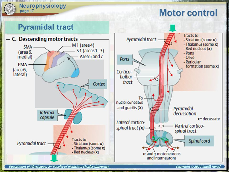 Motor control Pyramidal tract Neurophysiology page 17