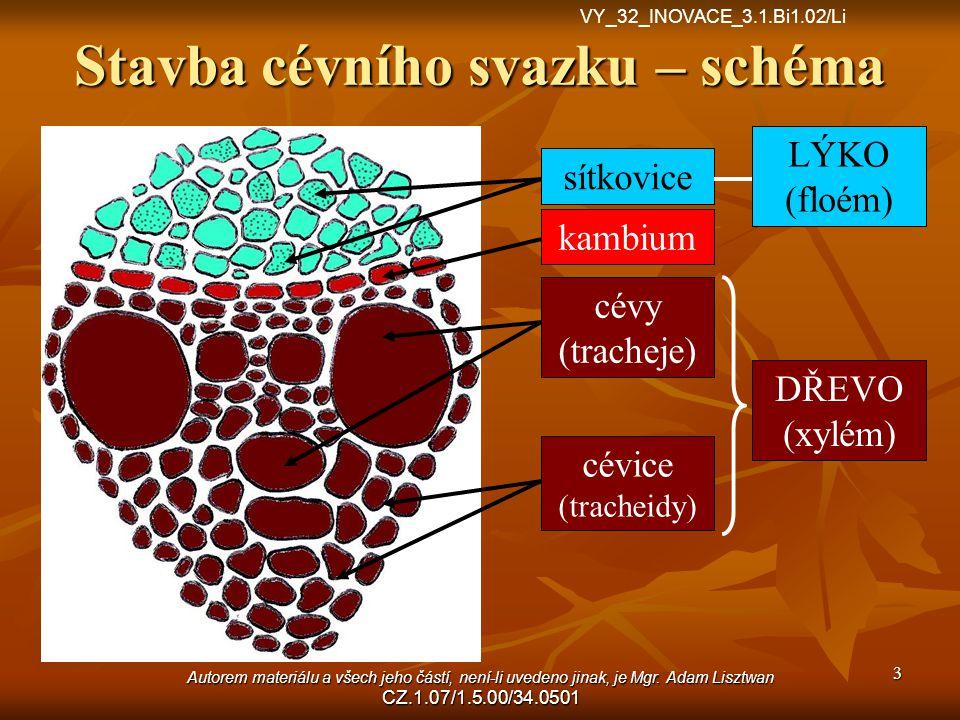 Stavba cévního svazku – schéma