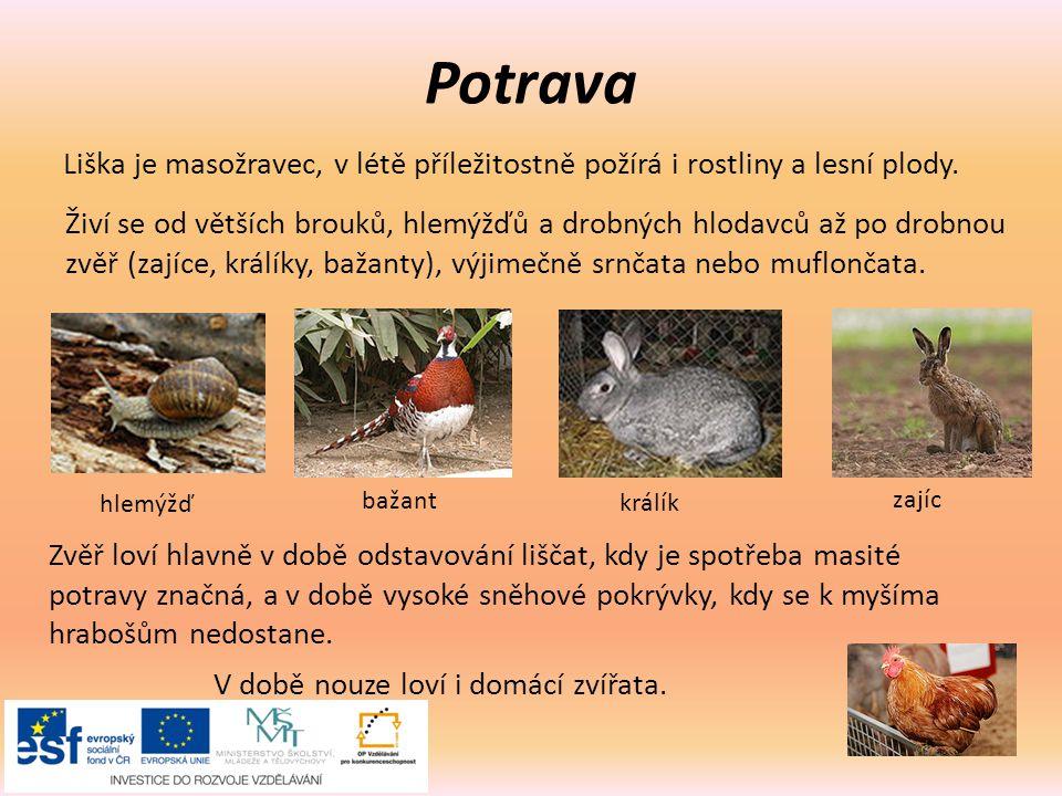 Potrava Liška je masožravec, v létě příležitostně požírá i rostliny a lesní plody.
