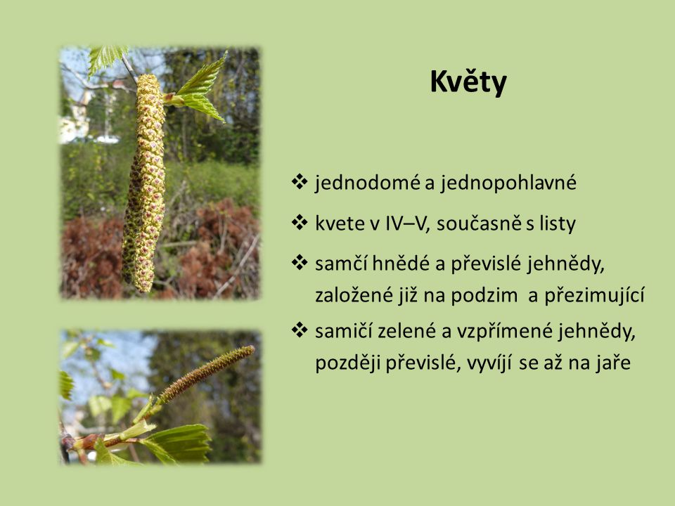 Květy jednodomé a jednopohlavné kvete v IV–V, současně s listy
