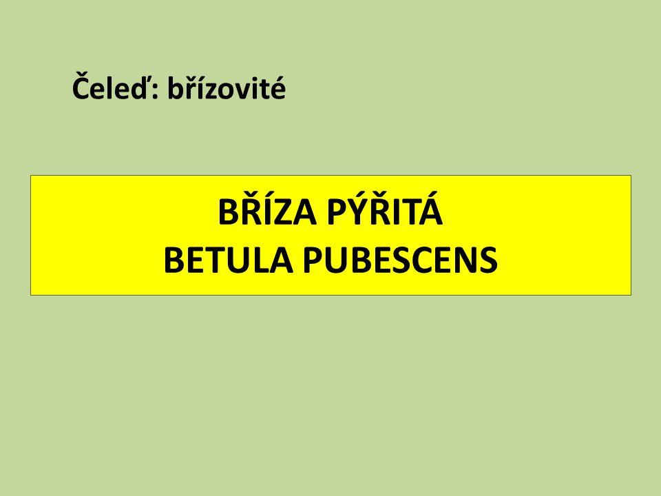 BŘÍZA PÝŘITÁ BETULA PUBESCENS