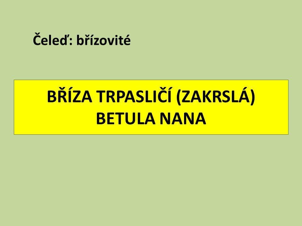 BŘÍZA TRPASLIČÍ (ZAKRSLÁ) BETULA NANA