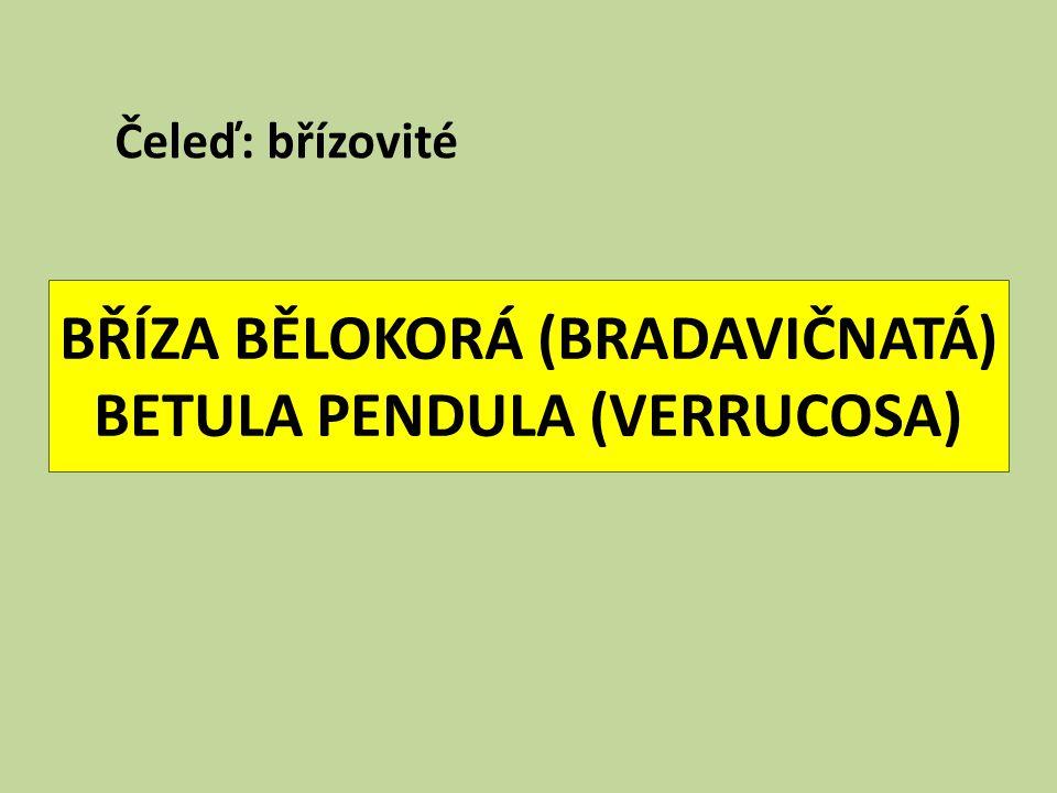 BŘÍZA BĚLOKORÁ (BRADAVIČNATÁ) BETULA PENDULA (VERRUCOSA)