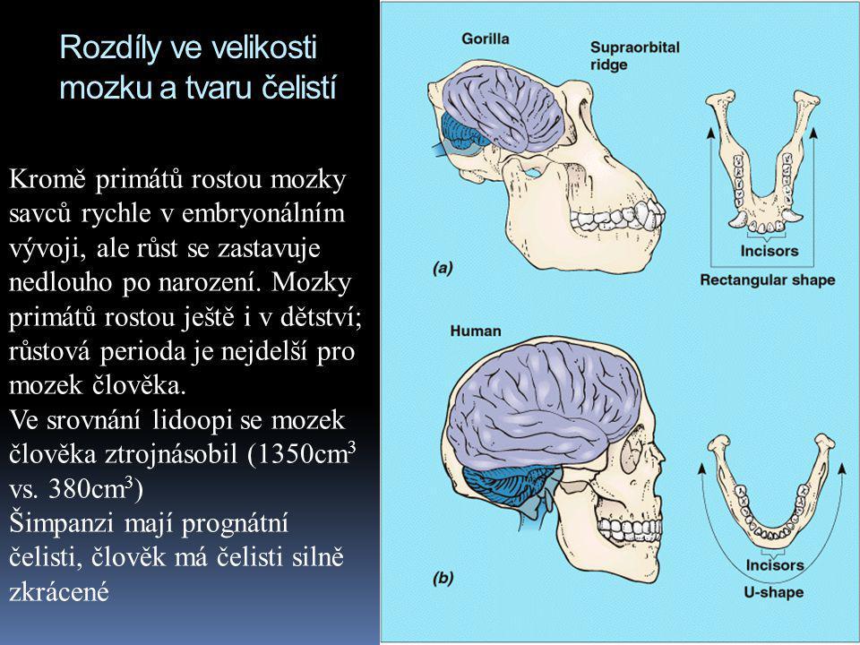 Rozdíly ve velikosti mozku a tvaru čelistí