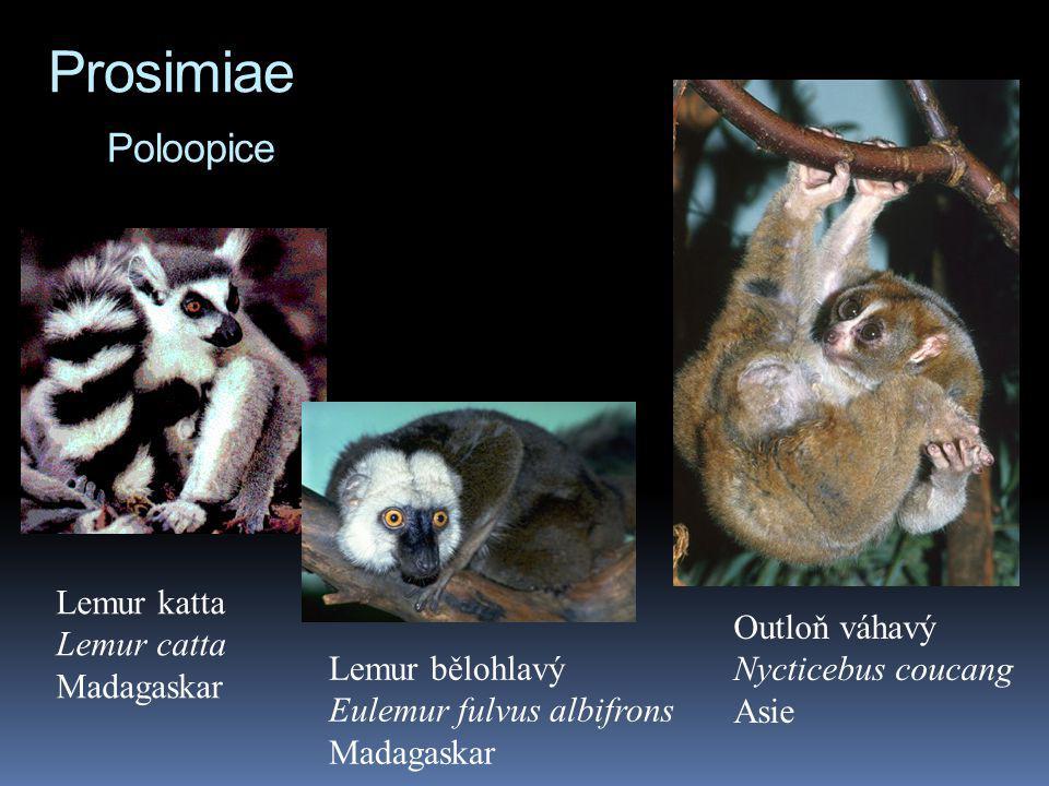 Prosimiae Poloopice Lemur katta Lemur catta Outloň váhavý Madagaskar