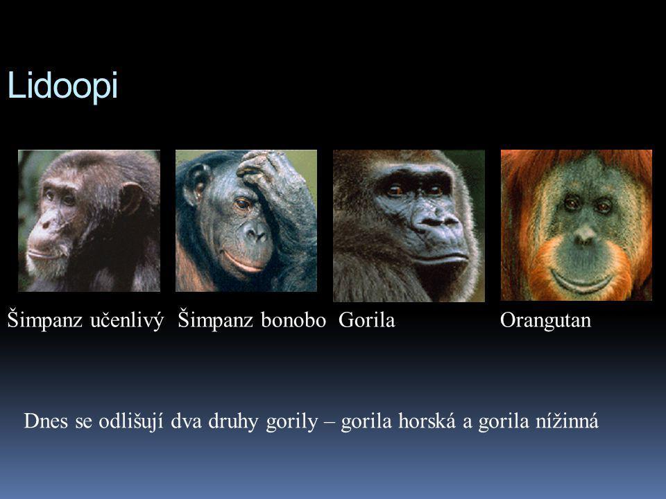 Lidoopi Šimpanz učenlivý Šimpanz bonobo Gorila Orangutan