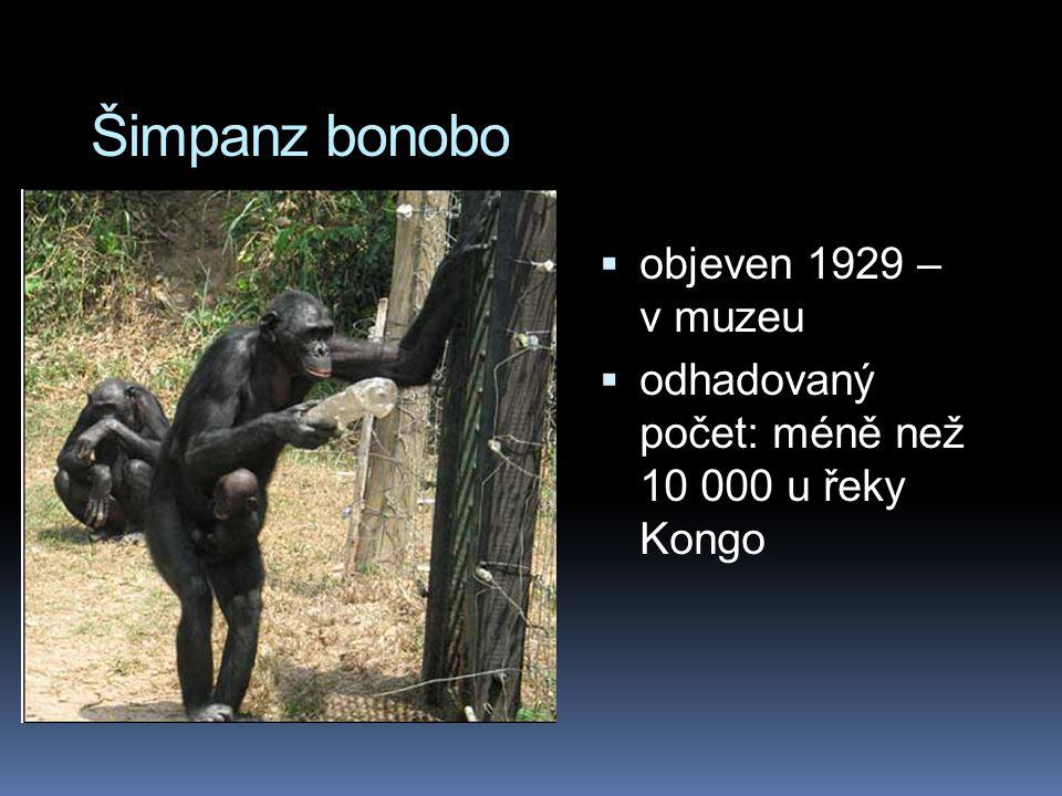 Šimpanz bonobo objeven 1929 – v muzeu