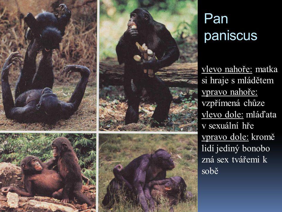 Pan paniscus vlevo nahoře: matka si hraje s mládětem