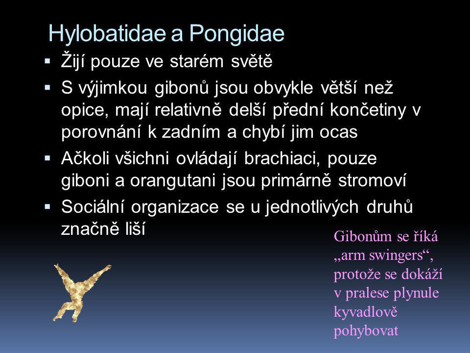 Hylobatidae a Pongidae