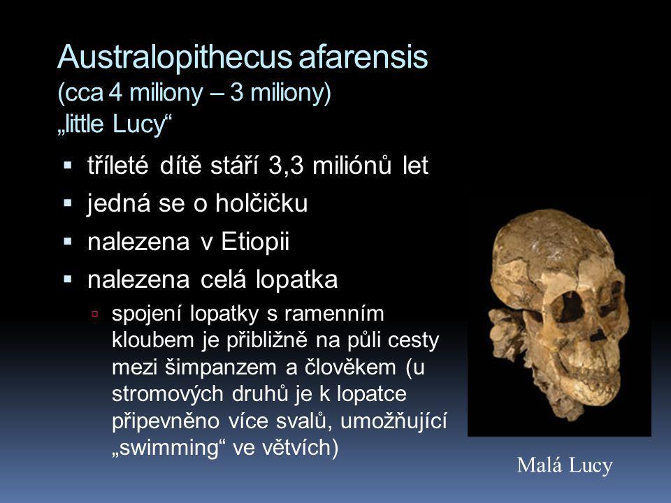"""Australopithecus afarensis (cca 4 miliony – 3 miliony) """"little Lucy"""