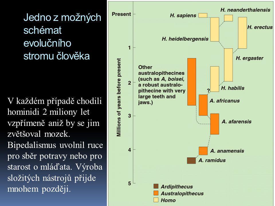 Jedno z možných schémat evolučního stromu člověka