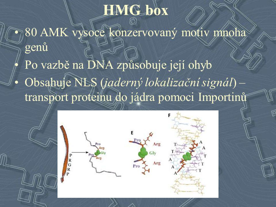 HMG box 80 AMK vysoce konzervovaný motiv mnoha genů