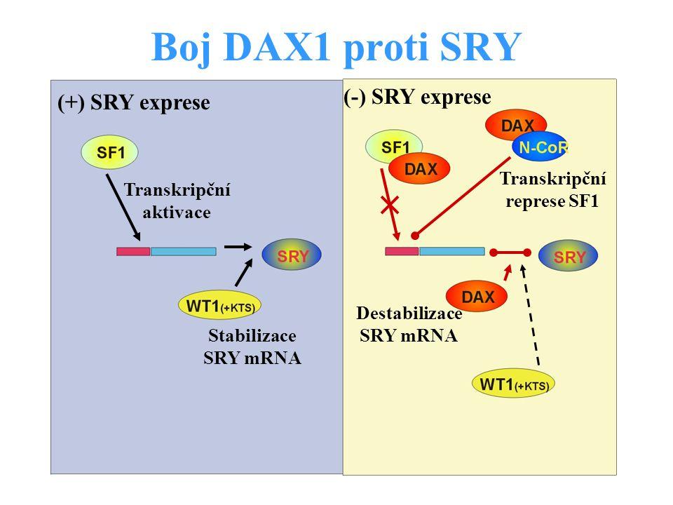 Transkripční represe SF1 Transkripční aktivace