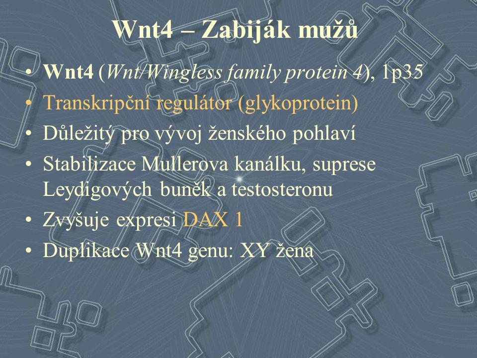 Wnt4 – Zabiják mužů Wnt4 (Wnt/Wingless family protein 4), 1p35