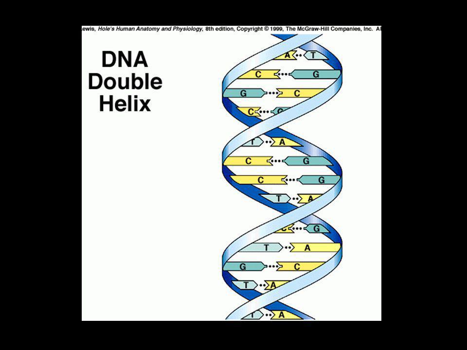 DNA - struktura Dusíkaté báze se spojují do párů A-T a C-G