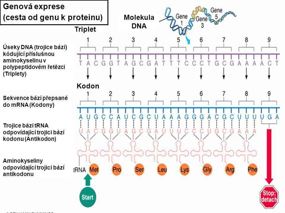 DNA - replikace DNA - translace DNA - Transkripce DNA - funkce DNA RNA