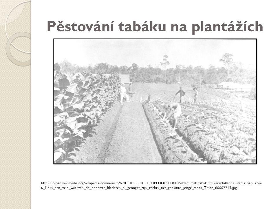 Pěstování tabáku na plantážích
