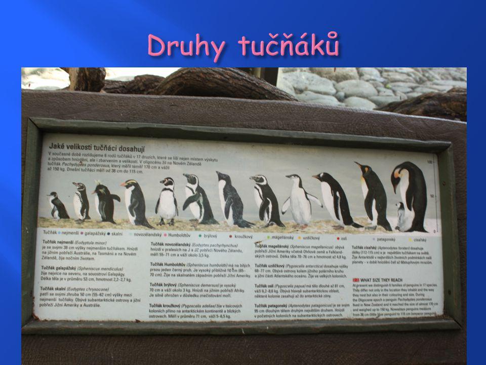 Druhy tučňáků