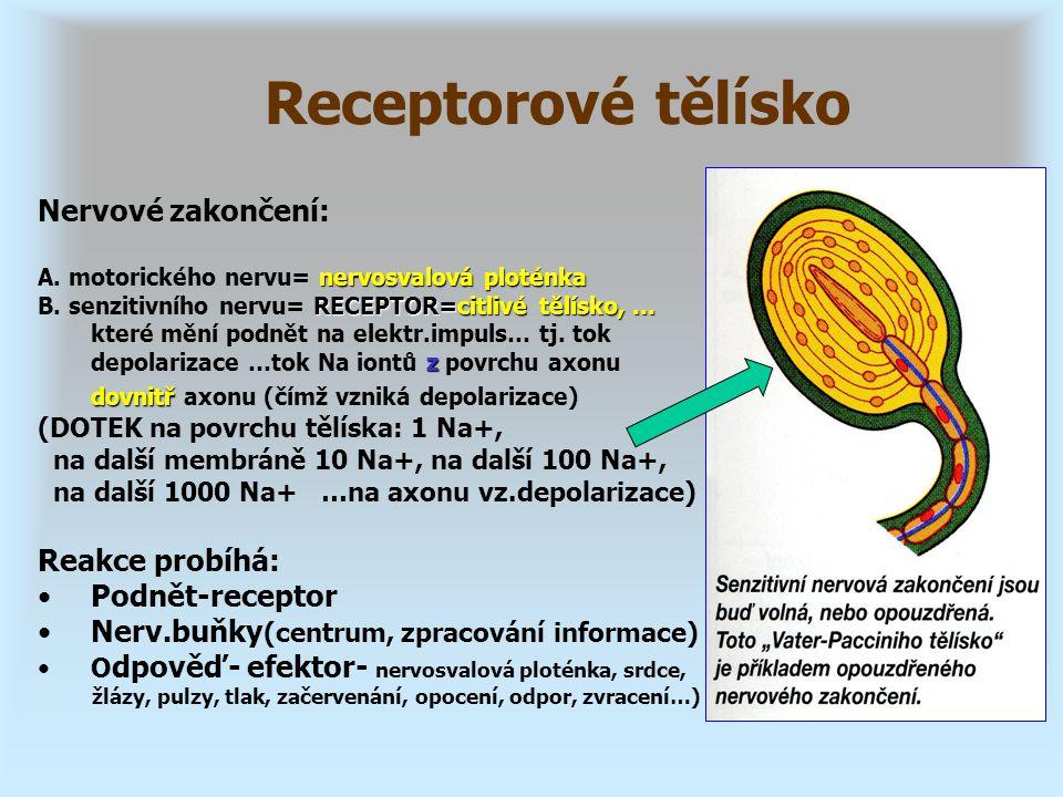 Receptorové tělísko Nervové zakončení: Reakce probíhá: Podnět-receptor