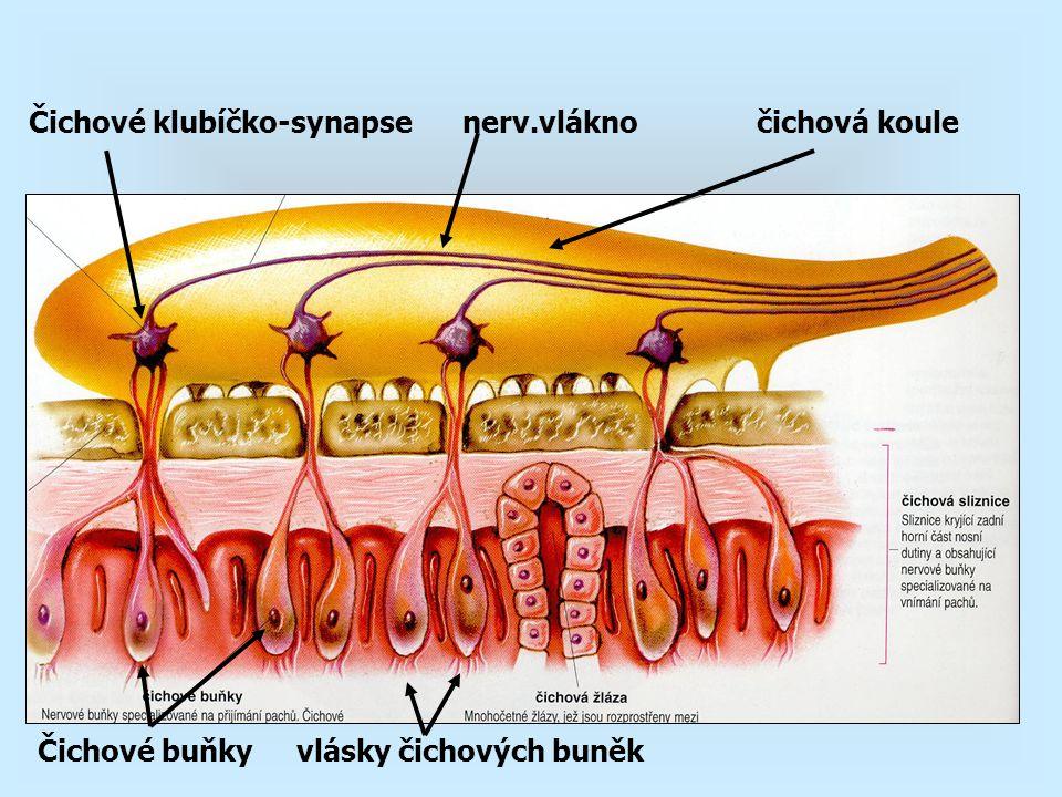 Čichové klubíčko-synapse nerv.vlákno čichová koule