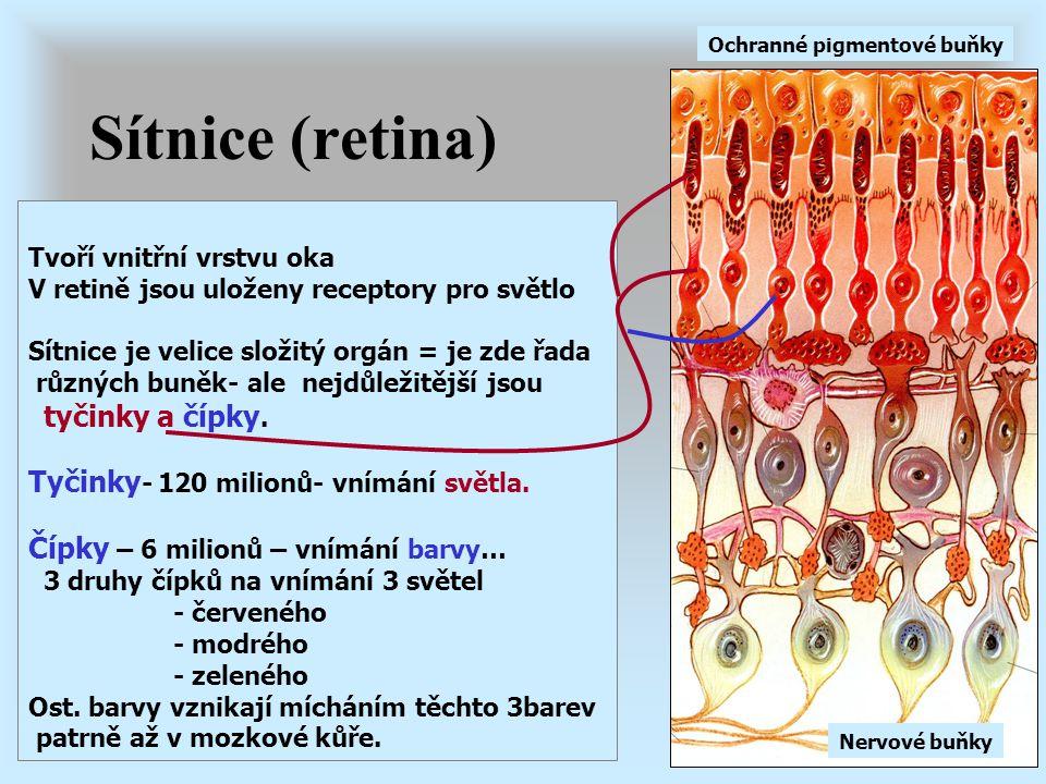 Sítnice (retina) Tyčinky- 120 milionů- vnímání světla.