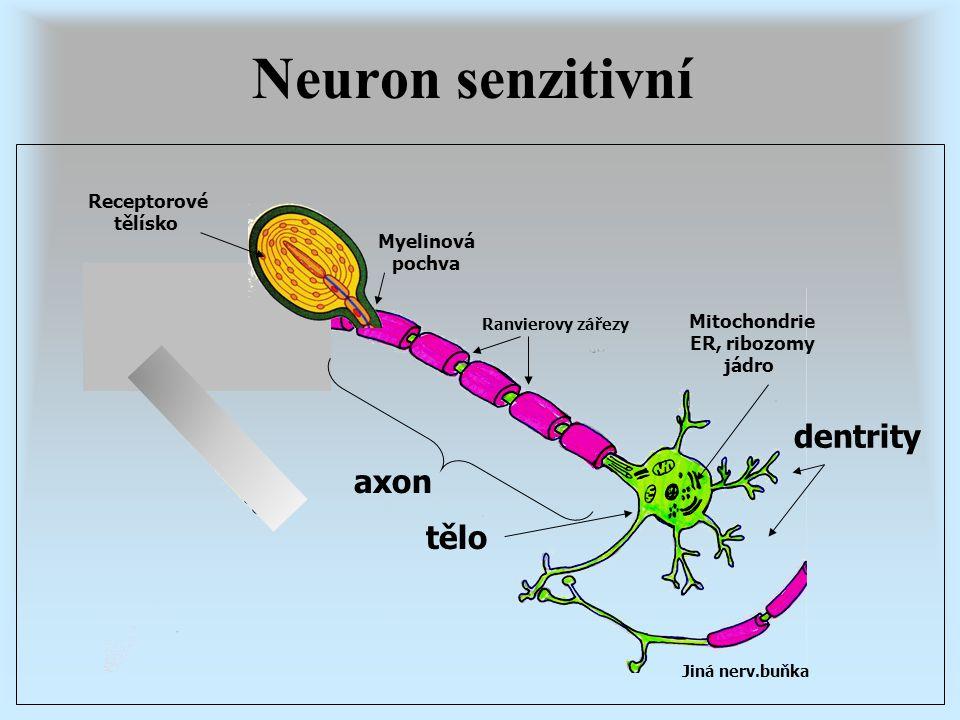 Neuron senzitivní dentrity axon tělo Receptorové tělísko Myelinová